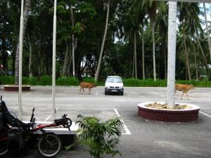 Cows visiting the Melati Inn