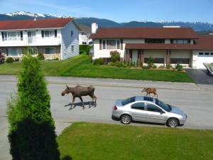 Cow and calf moose in front of Becky's parent's house