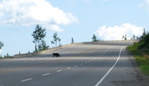 Bear crossing the road in front of our bikes