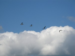 White Pelicans flying away from us